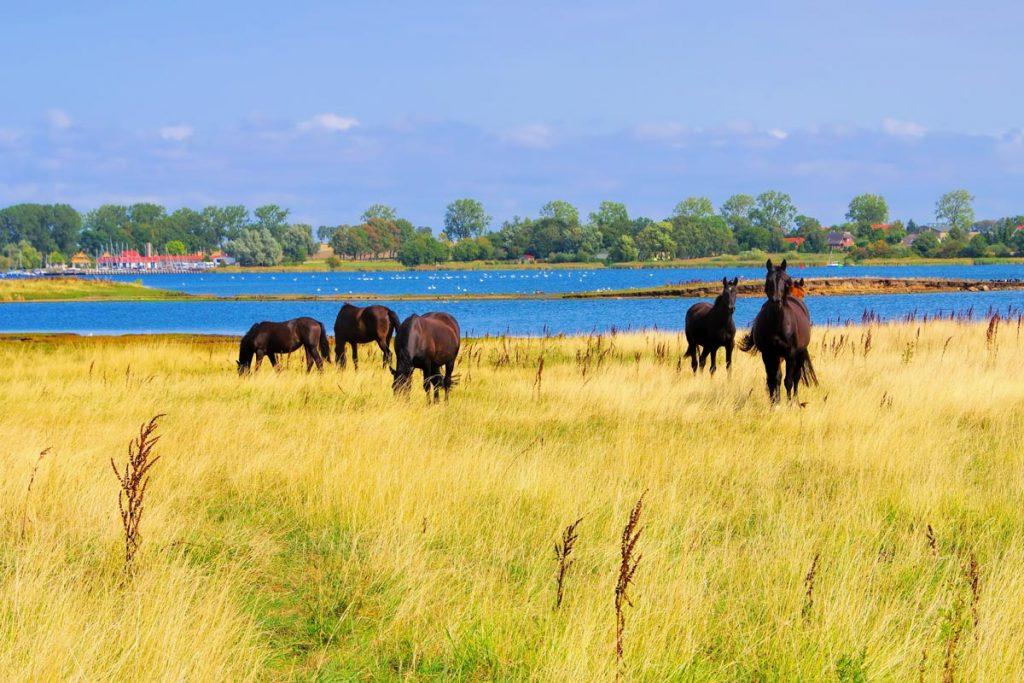 Insel Poel Pferde